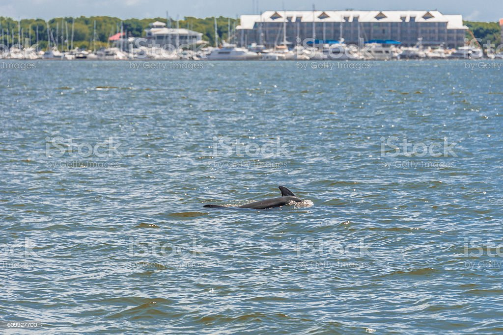 Dolphin in Cooper River stock photo