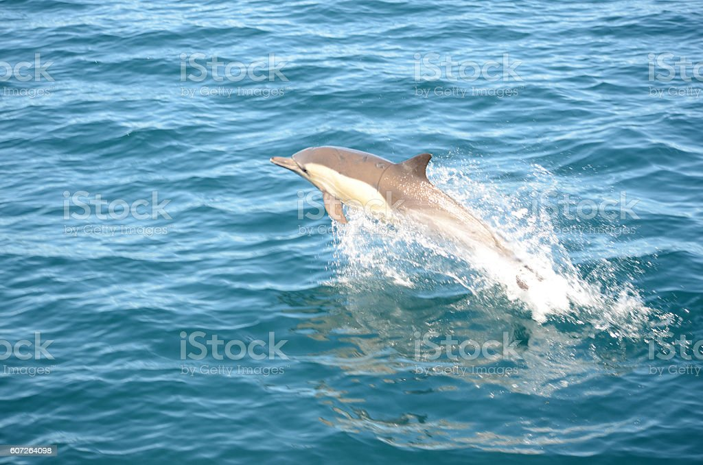 Dolphin in Monterey Bay stock photo