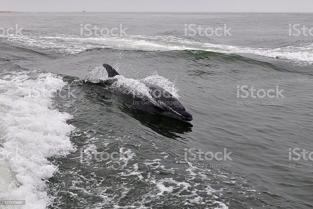 dolphin in speed royalty-free stock photo