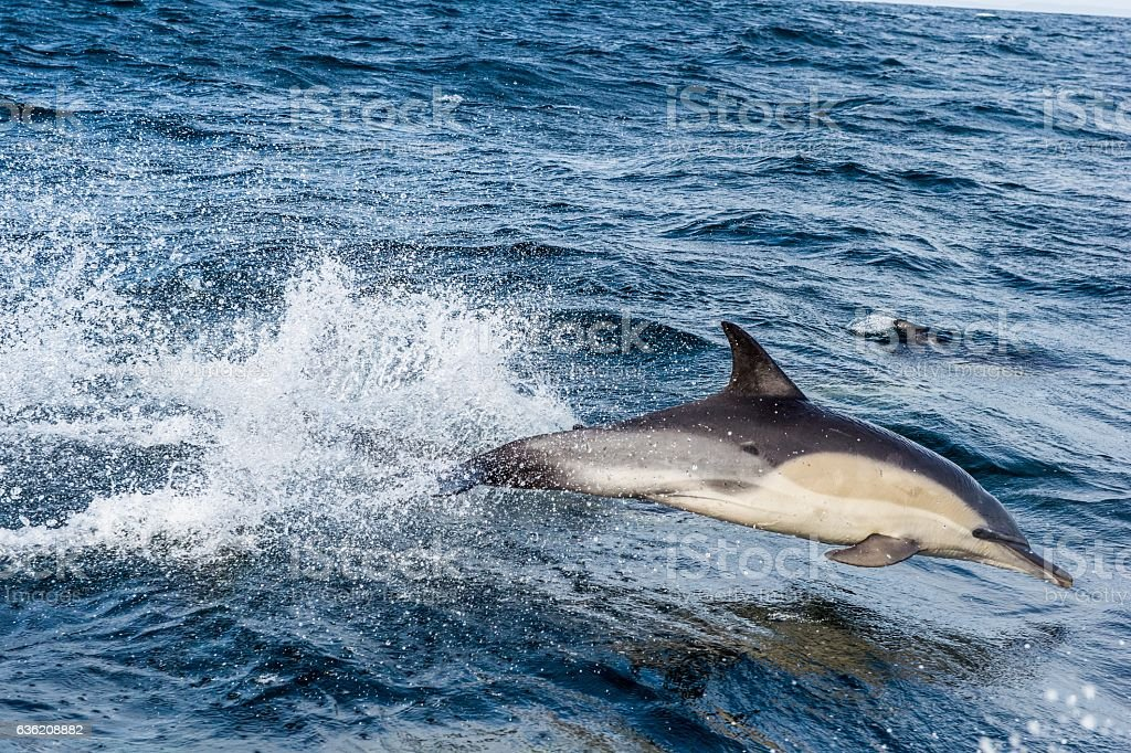 Dolphin in the ocean stock photo