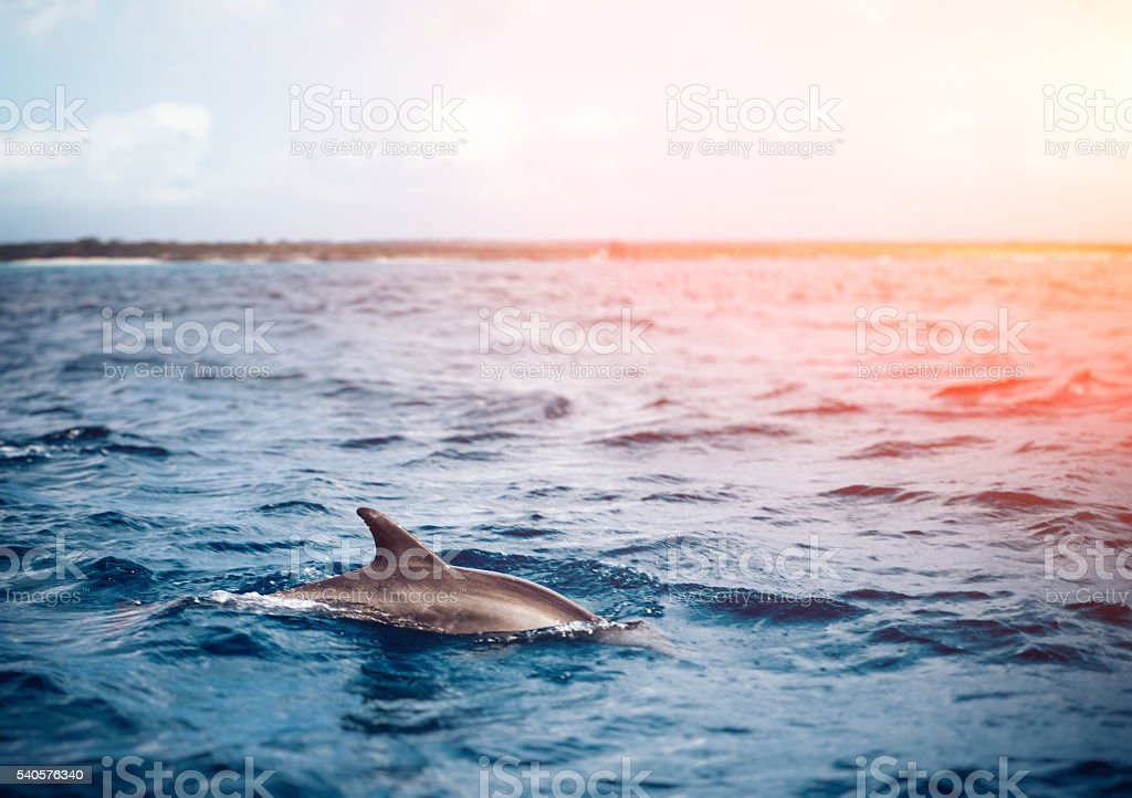 Dolphin In The Sea stock photo