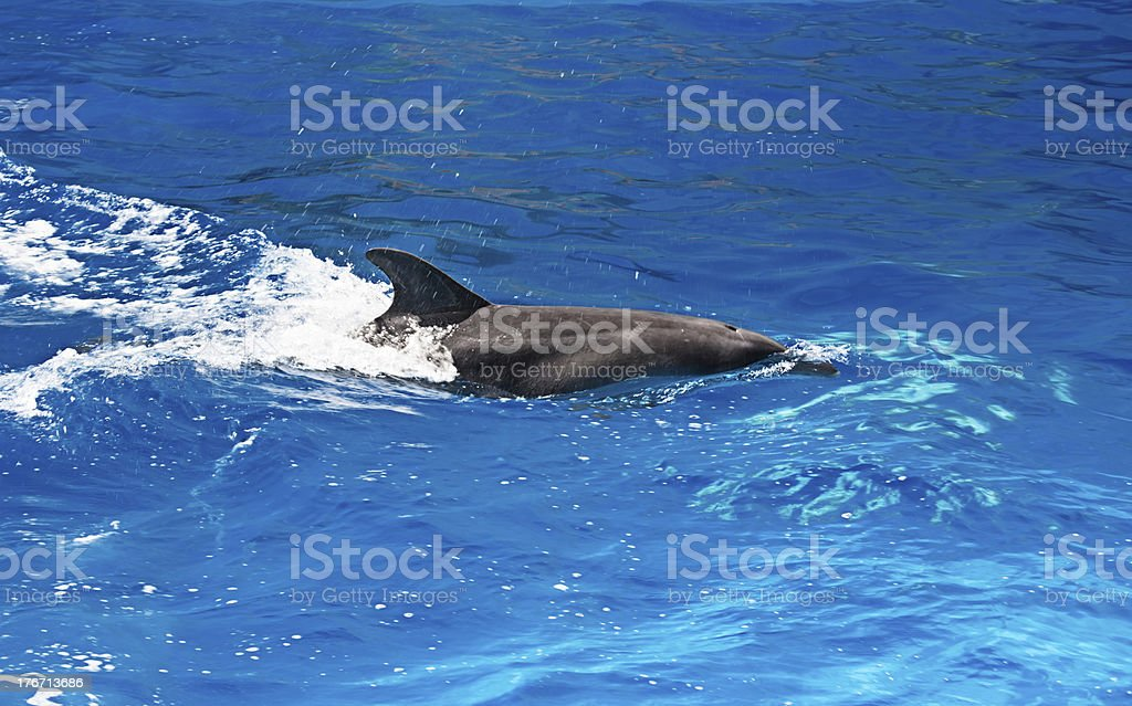 Dolphin in the water park royalty-free stock photo