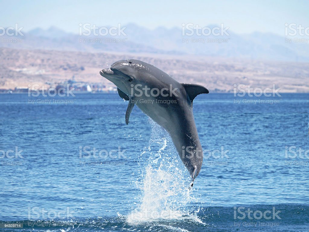 dolphin jump out of the water in open sea royalty-free stock photo