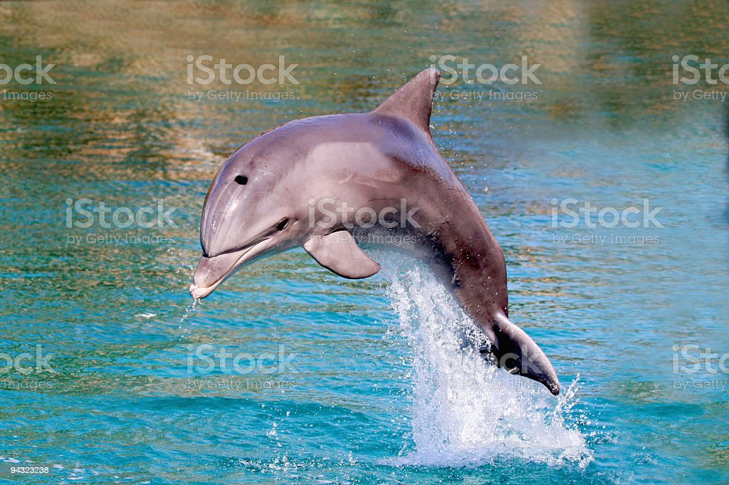 dolphin jump out of the water stock photo