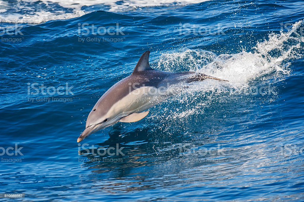 Dolphin jumping outside the sea stock photo