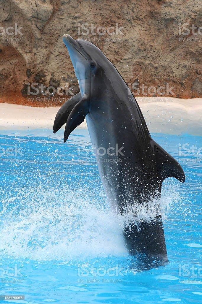 Dolphin jumping royalty-free stock photo