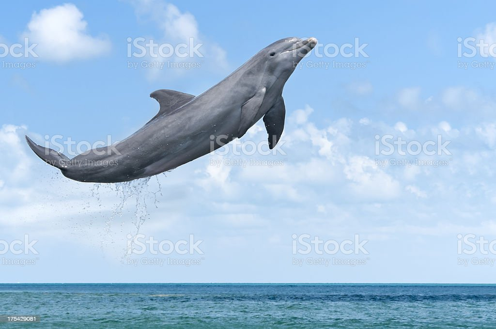Dolphin Jumping stock photo