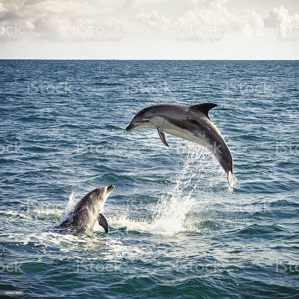 Dolphin Leap stock photo