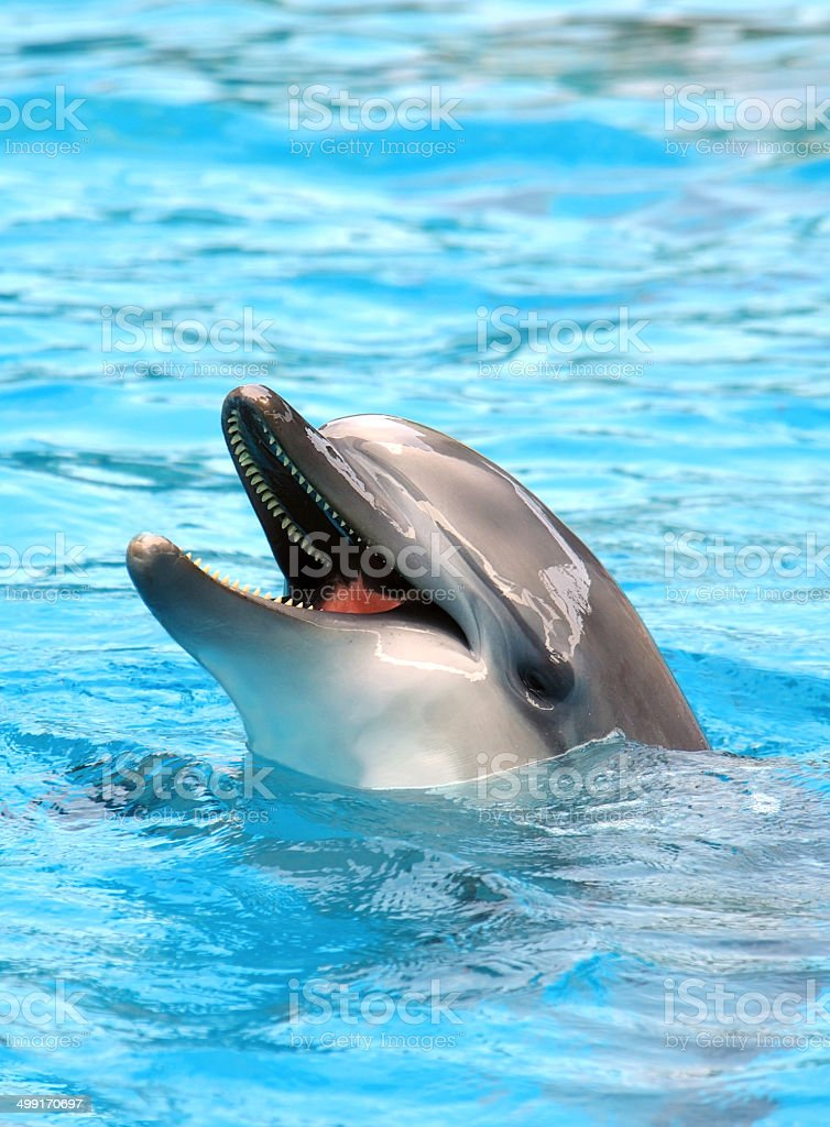 Dolphin open mouth stock photo