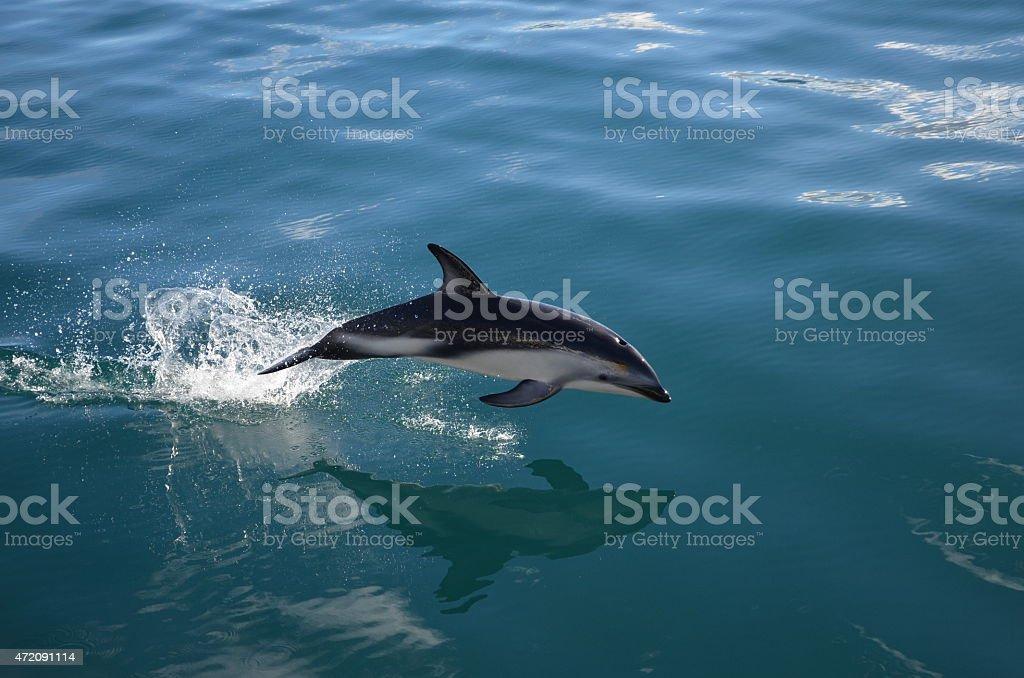 Dolphin over water near Kaikoura, New Zealand stock photo
