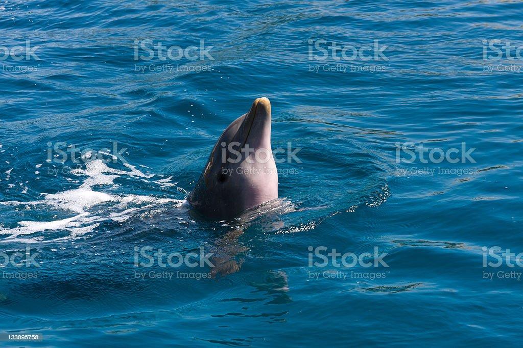 Dolphin play on the sea royalty-free stock photo