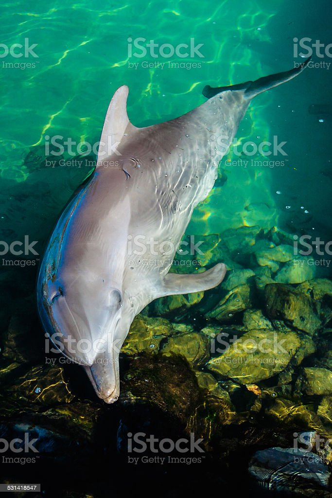 Dolphin Resting In A Pool stock photo