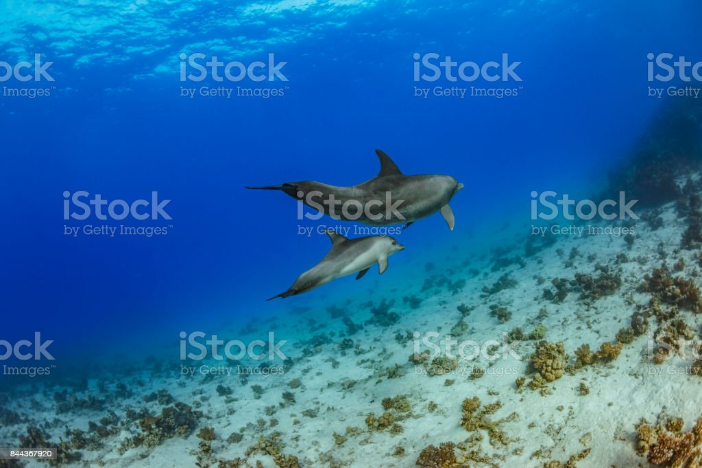 Dolphin  Sea life   Coral reef Underwater  Scuba diver point of view  Red sea Nature & Wildlife stock photo