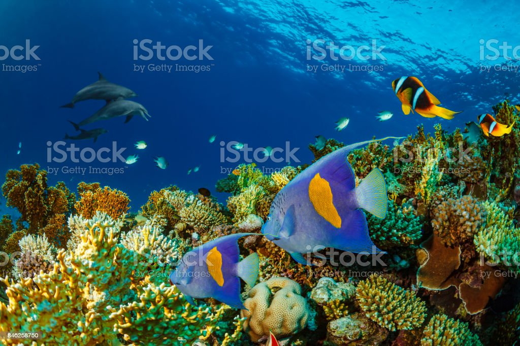 Dolphin  Sea life  school of dolphines  Coral reef Underwater  Scuba diver point of view  Red sea Nature & Wildlife stock photo