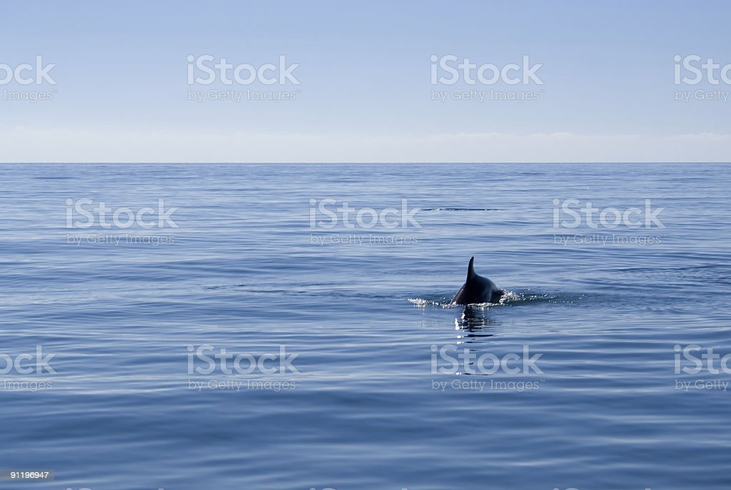 Dolphin swimming in open sea royalty-free stock photo