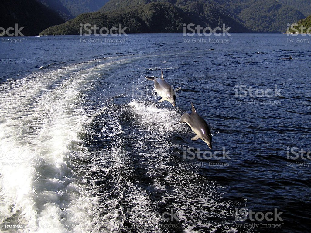 Dolphin twin flight stock photo