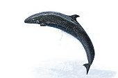Dolphin white background