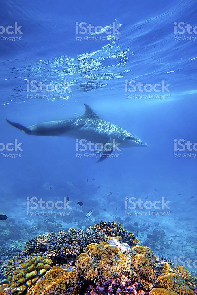 Dolphind and Corals stock photo