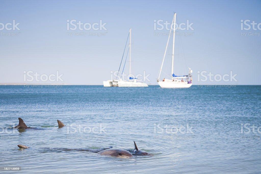 Dolphins and Sailing Ships Monkey Mia stock photo