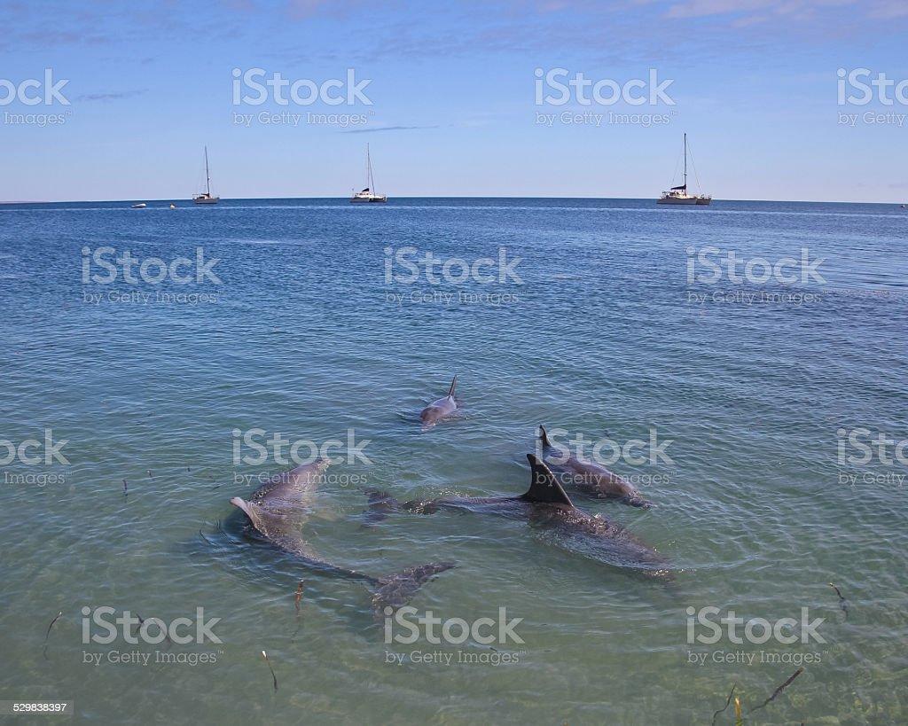 Dolphins at Monkey Mia, Western Australia stock photo