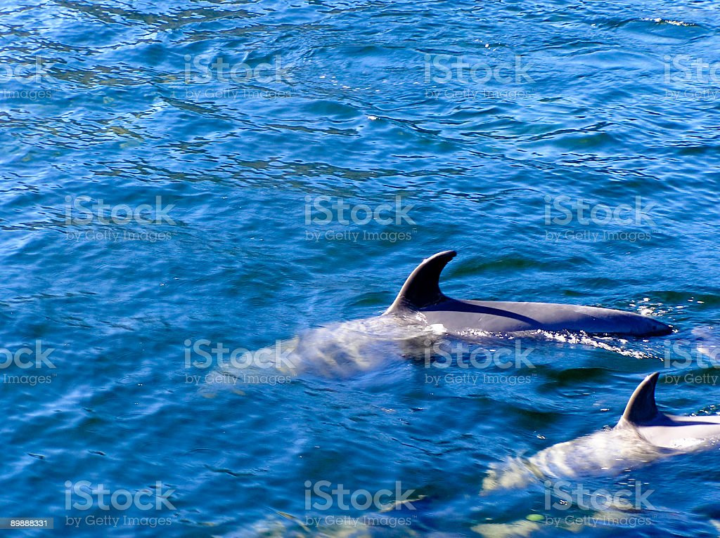 Dolphins in calm oceans stock photo
