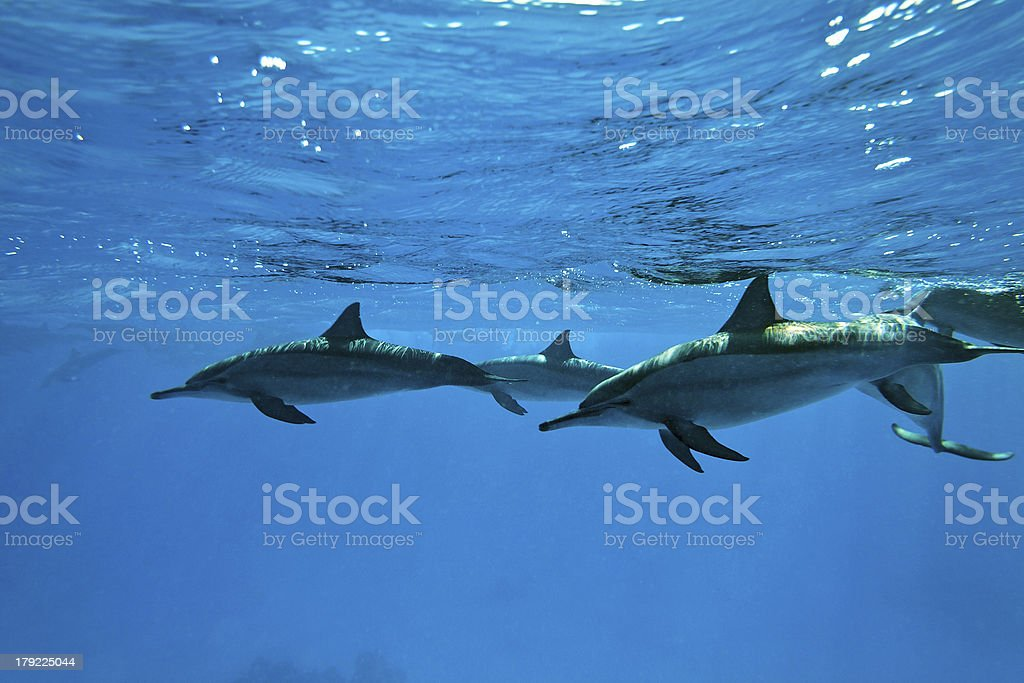 Dolphins in the sea royalty-free stock photo