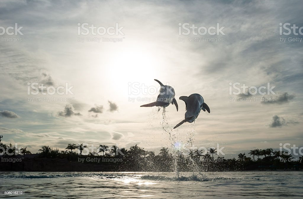 Dolphins jump into the sunset. stock photo