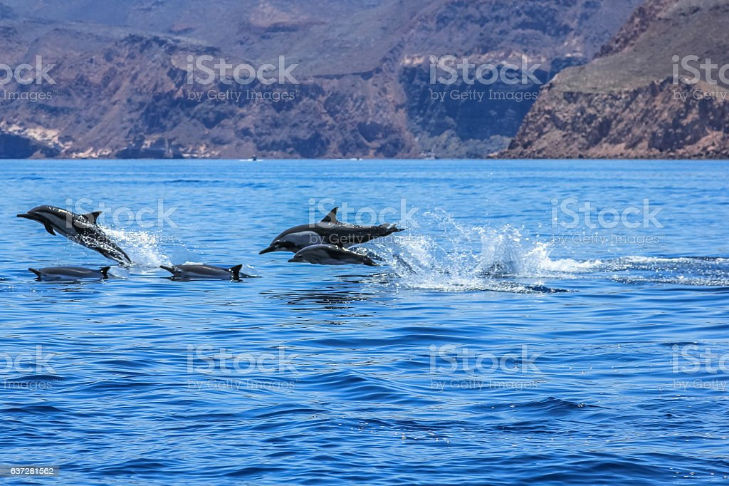 Dolphins jumping Mexico stock photo