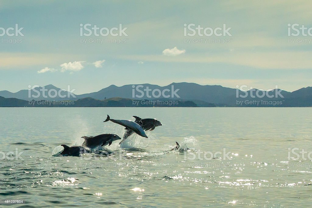 Dolphins jumping out of the water stock photo