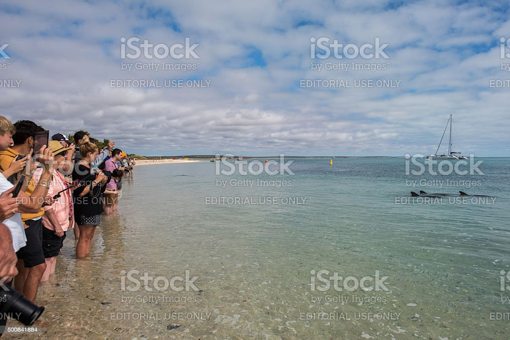 dolphins near the shore get in touch with humans stock photo