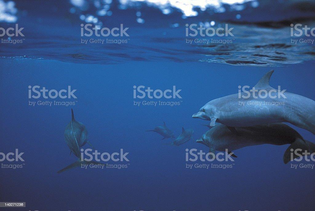 Des dauphins photo libre de droits