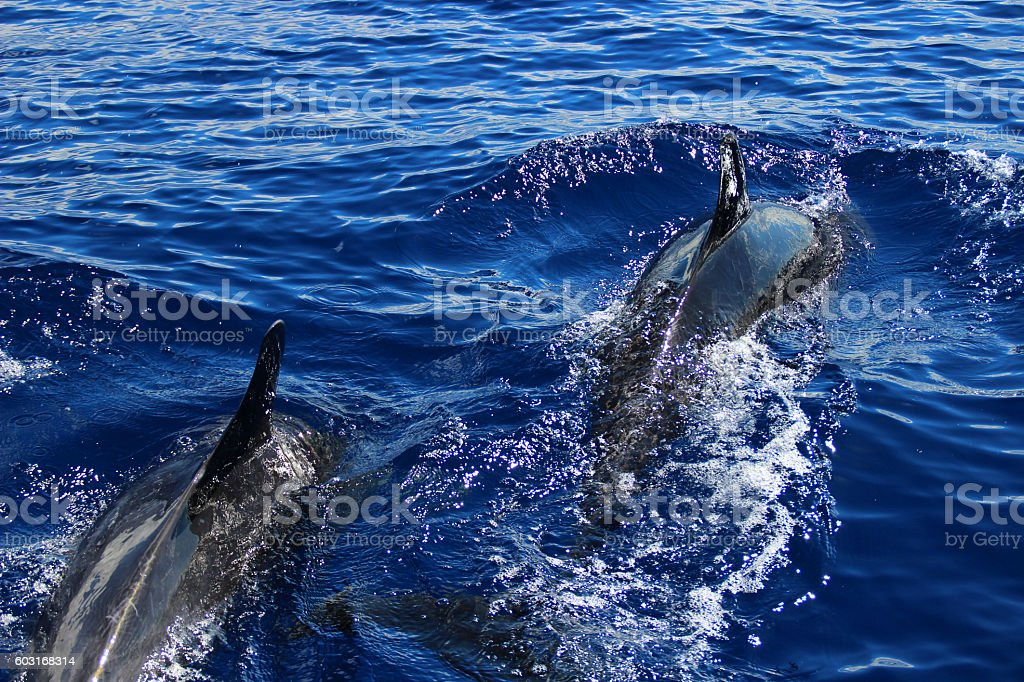 Dolphins royalty-free stock photo