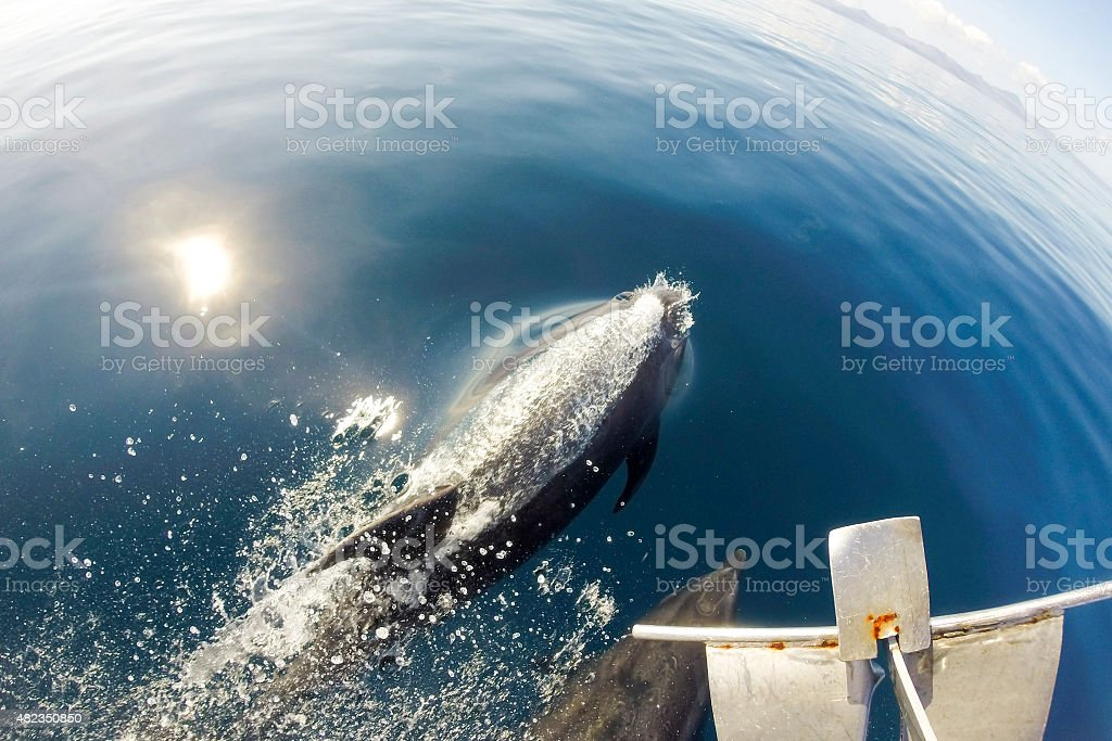 Dolphins swimming in front of the boat stock photo