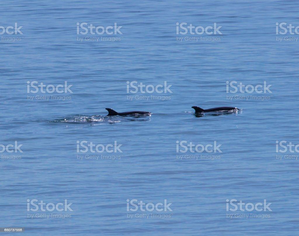 Dolphins swimming in Malibu stock photo