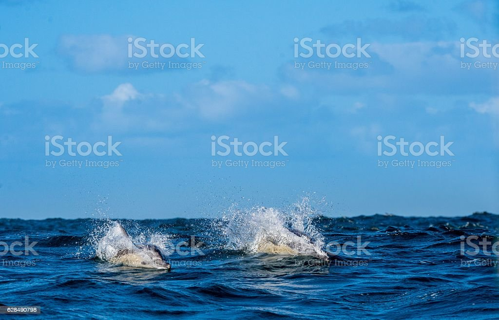 Dolphins swimming in the ocean stock photo