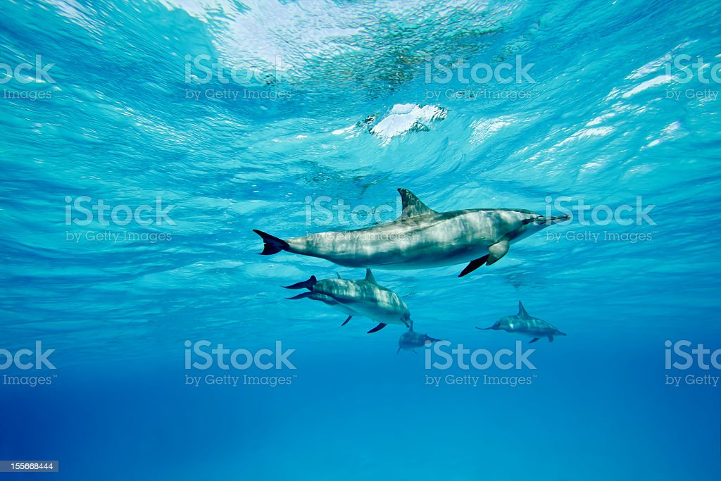 Dolphins swimming through the clear blue water  stock photo
