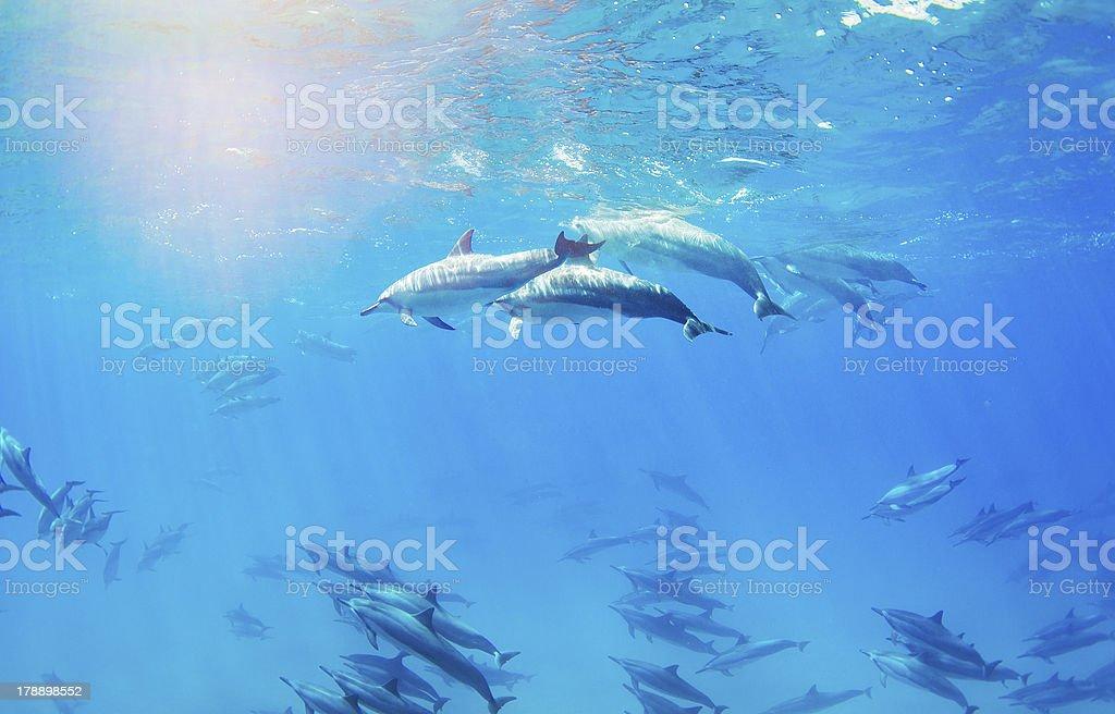 dolphins swimming underwater stock photo