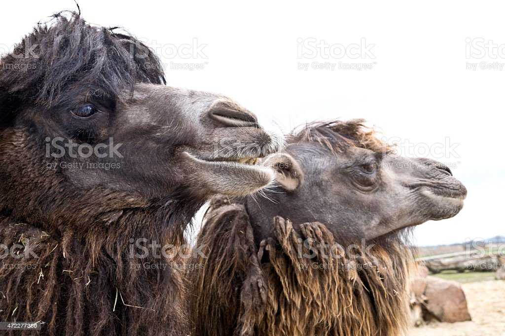 Domestic bactrian camel stock photo