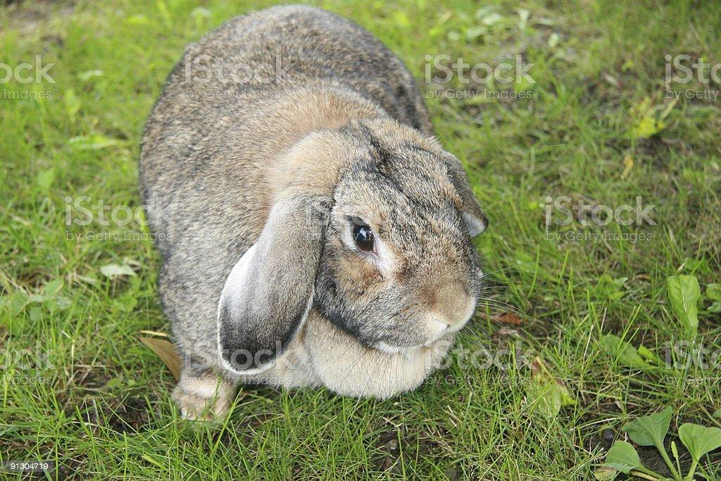 Domestic brown lop eared rabbit stock photo