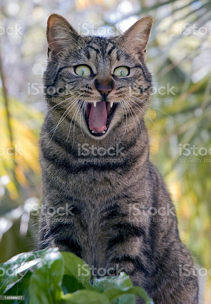 A domestic cat acting wild outside stock photo