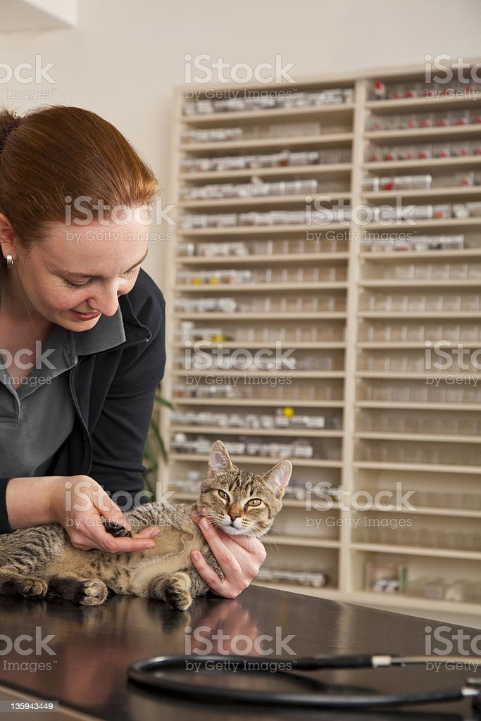 domestic cat being examined at veterinarian royalty-free stock photo