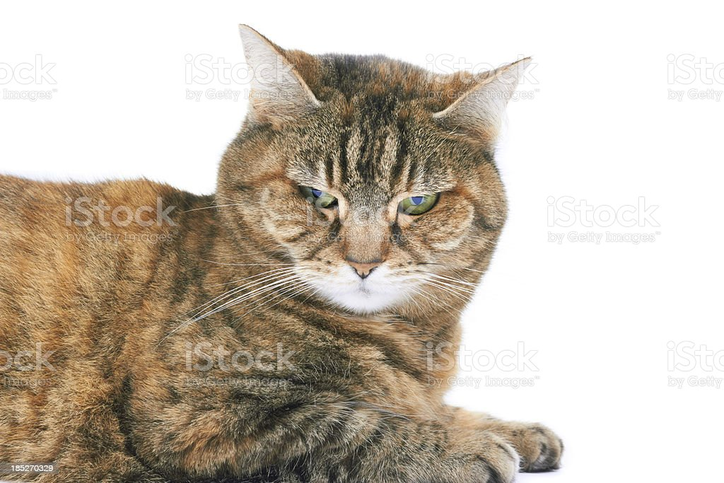 Domestic cat on white stock photo