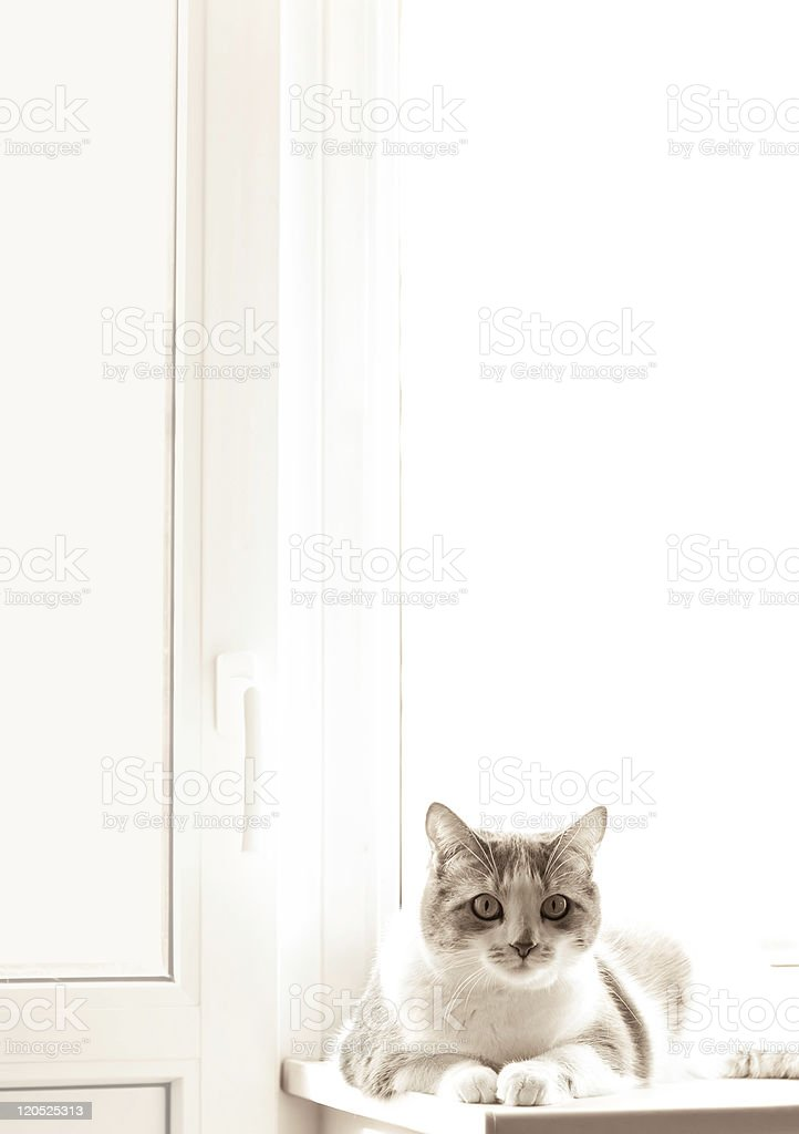 domestic cat on white window royalty-free stock photo
