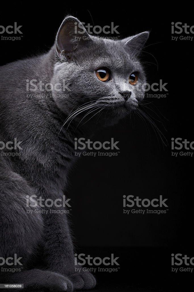 Domestic Cat royalty-free stock photo