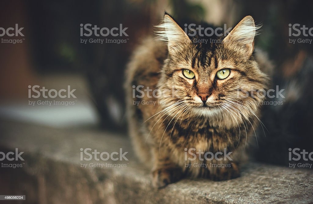 Domestic cat portrait stock photo