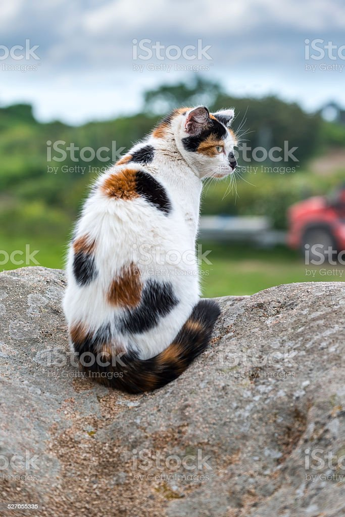 Domestic cat sitting and prowling on a rock stock photo