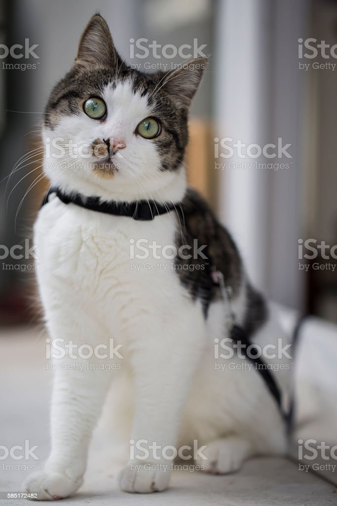 Domestic cat sitting outside stock photo