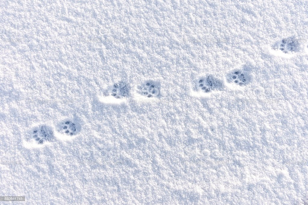 Domestic Cat Tracks in the Winter Snow stock photo