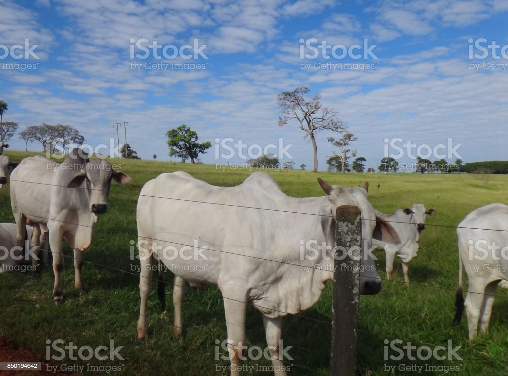 Domestic cattle (feral) stock photo