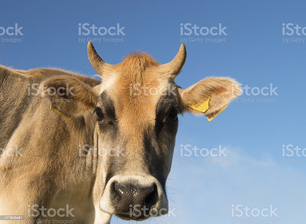domestic cow portrait royalty-free stock photo